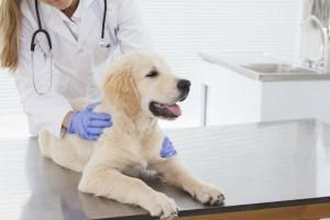 Острая почечная недостаточность у собак