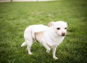 Болезнь пертеса у собак