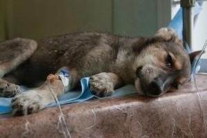 Вирусные инфекции у собак