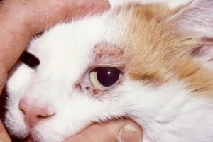 Эрлихиоз у кошек