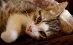 Ковыльная болезнь у кошек