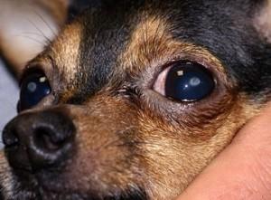 Травма роговицы у собак