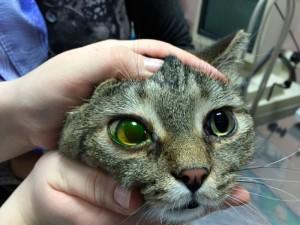 Травма роговицы у кошек