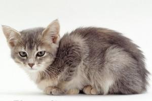 Энтероколит у кошек