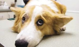 Кератомаляция у собак и кошек