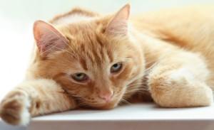 Холецистит у кошек