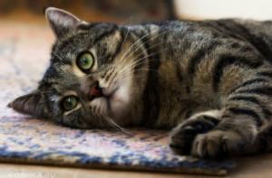 Гастроэнтерит у кошек